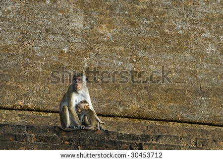 Mother and baby monkey sitting on the temple wall in Sri Lanka