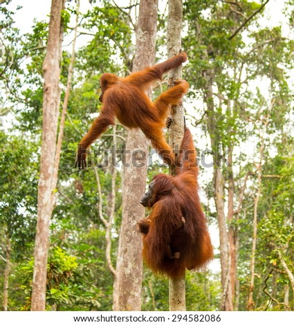 Mother and baby orangutan hanging on tree branch at forest of Borneo Indonesia - stock photo