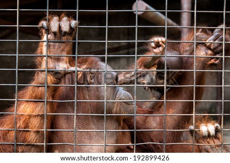 Mother and baby orangutans in cage Thailand