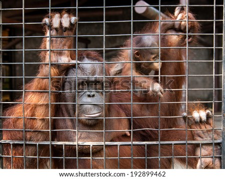 Mother and baby orangutans in cage Thailand - stock photo