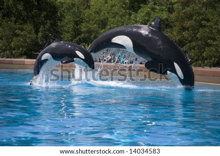 mother and baby orca  whales breaching - stock photo