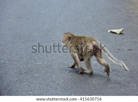Mother and baby Rhesus macaque Monkey running across the road