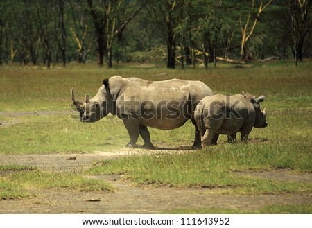 Mother and baby Rhino Lake Nakuru Kenya Africa - stock photo