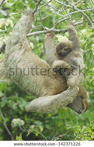 Mother and baby Three-toed Sloth (Bradypus variegatus) in Costa Rica rainforest - stock photo