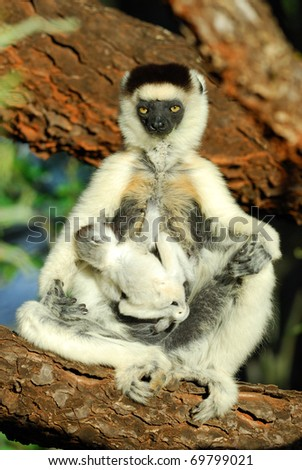 Mother and baby Verreaux's Sifaka in the Berenty Nature Reserve, southern Madagascar - stock photo