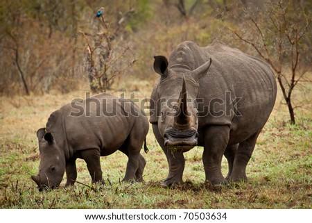 Mother and baby white rhino grazing - stock photo