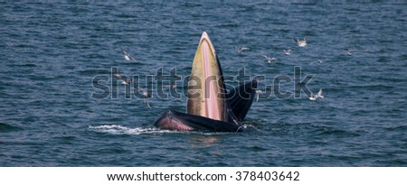 """Mother and calf Bryde's whales doing """"Lung Feeding"""". - stock photo"""
