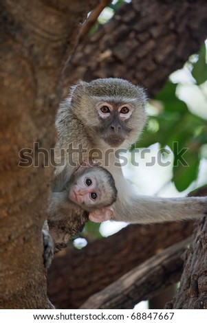 Mother and child Vervet Monkey, Okavango Delta, Botswana - stock photo