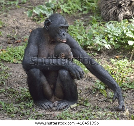 Mother and Cub of chimpanzee Bonobo. Bonobo female  with a cub.  The Bonobo ( Pan paniscus). Democratic Republic of Congo. Africa - stock photo