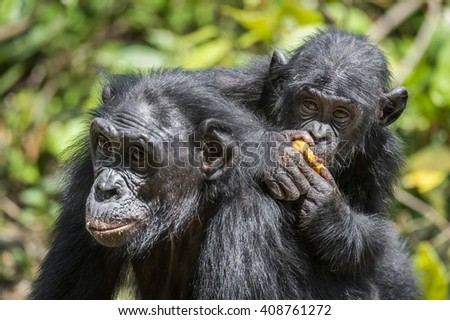 Mother and Cub of chimpanzee  Bonobo in natural habitat. Green natural background.  The Bonobo ( Pan paniscus), earlier being called  the pygmy chimpanzee. Democratic Republic of Congo. Africa   - stock photo