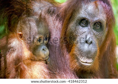 Mother and cub orangutan (Pongo pygmaeus).  The close up portrait of cub and female of the orangutan . Borneo, Indonesia. - stock photo