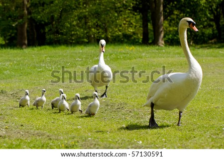 Mother and father swan with their cygnets - stock photo