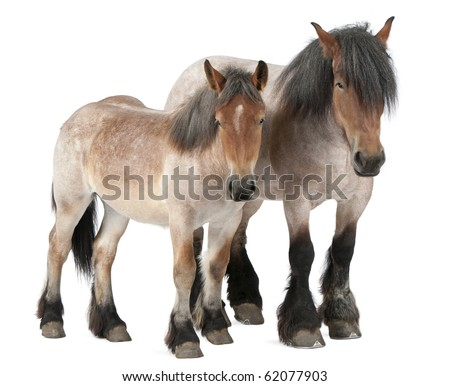 Mother and foal Belgian horse, Belgian Heavy Horse, Brabancon, a draft horse breed, 5 years old, standing in front of white background and 13 months old - stock photo