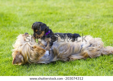 Mother and its lovely child. The yorkshire terriers - stock photo