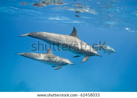 Mother and juvenile Spinner dolphins in the wild (Stenella longirostris). Sataya, Southern Red Sea, Egypt. - stock photo