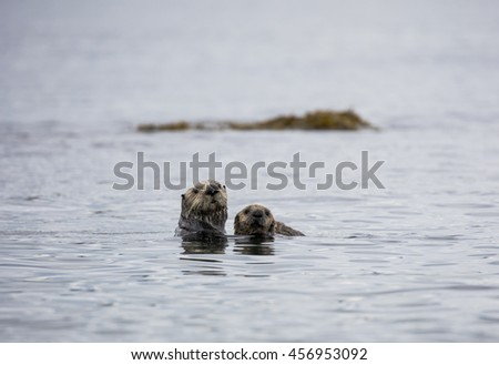 Mother and pup sea otter floating in Resurrection Bay - stock photo