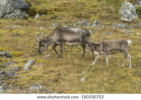 mother and young calf reindeer grazing in arctic svalbard meadow