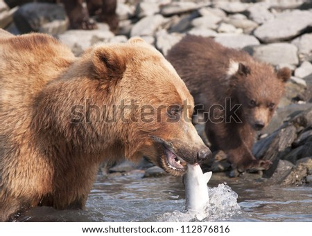 mother bear catches salmon for cub - stock photo