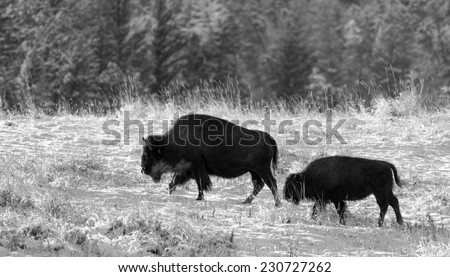 Mother bison and calf walking toward the rest of the herd, black and white - stock photo