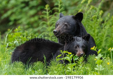 Mother black bear and her one year old cub - stock photo