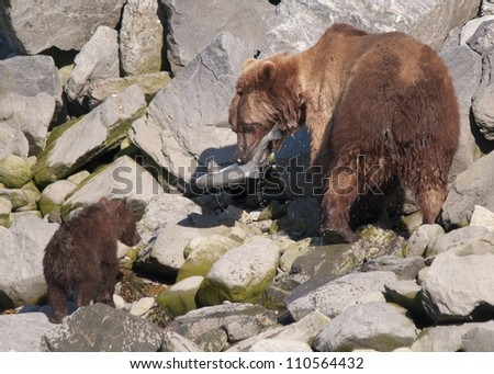 mother brown bear shares salmon with her young cub - stock photo