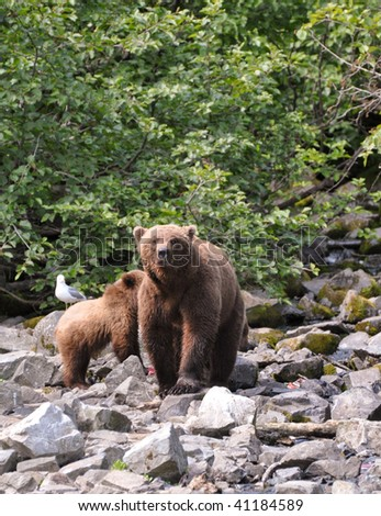 mother brown bear stares down tourists