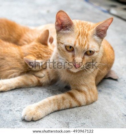 Mother brown golden cat breast feeding her children on concrete outdoor backyard under natural light, selective focus on its eye