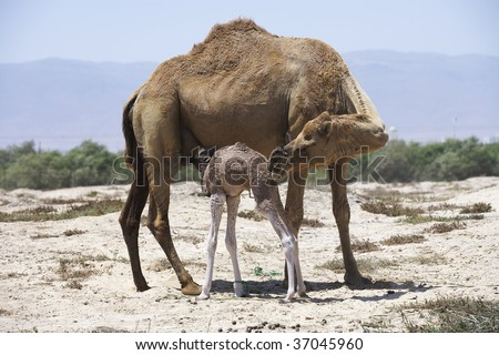 mother camel and her new born baby - stock photo
