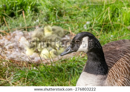 Mother Canada Goose and newly hatched gosling chicks in the background. - stock photo