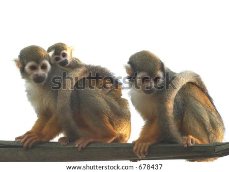 Mother carrying baby monkey, father looking - stock photo