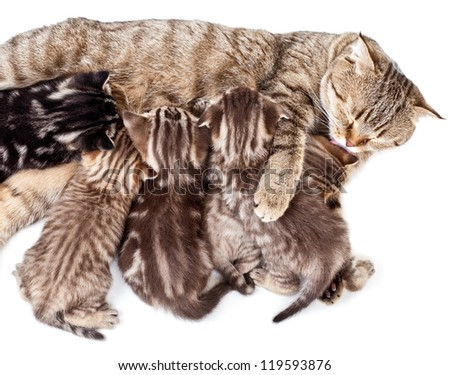 mother cat feeding baby kittens and licking them