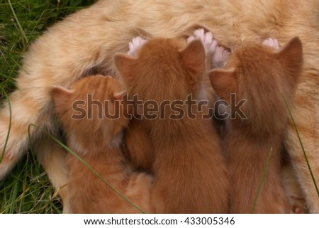 Mother cat is feeding her lovely kittens.