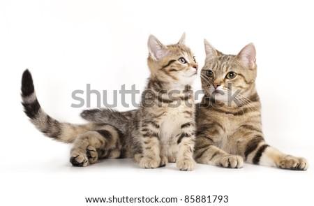 Mother cat licking little kitten's, a European breed - stock photo