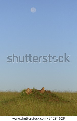 Mother cheetah and cubs on a termite mound in the Masai Mara