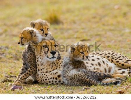 Mother cheetah and her cubs in the savannah. Kenya. Tanzania. Africa. National Park. Serengeti. Maasai Mara. An excellent illustration. - stock photo