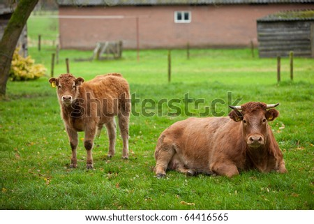 Mother cow and young calf in the meadow lookin curious - stock photo