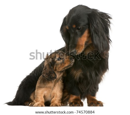 Mother Dachshund, 4 years old, and her puppy, 5 weeks old, in front of white background - stock photo