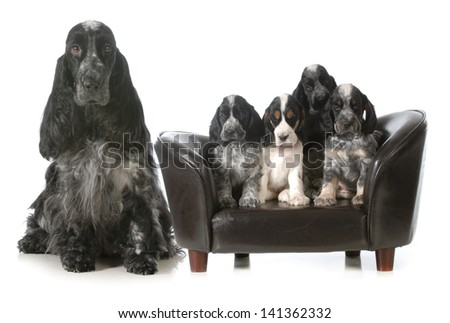mother dog and puppies - english cocker spaniel litter - seven weeks old - stock photo