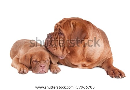 Mother dog of Dogue De Bordeaux (French Mastiff) breed taking care of her little sleeping puppy isolated on white background - stock photo