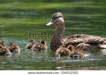 mother duck ( mallard duck, anas platyrhynchos ) with ducklings swimming on lake surface - stock photo