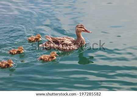 Mother duck swimming with her family of ducklings - stock photo