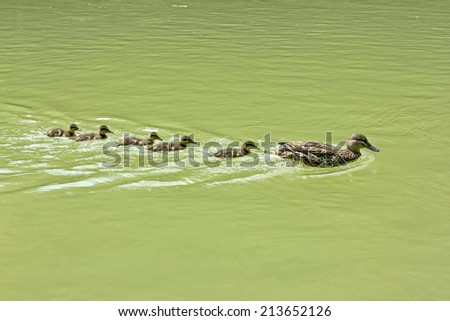 Mother Duck with her new born offspring  - stock photo