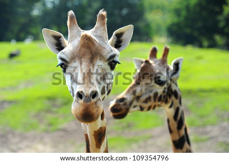Mother giraffe (in focus) and young giraffe blurred on background - stock photo