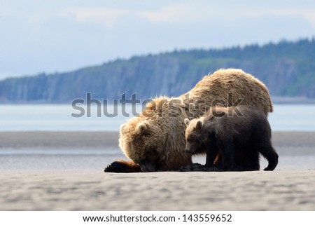 Mother Grizzly Bear with cub feeding on clamps - stock photo