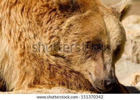 Mother Grizzly (Ursus arctos) bear - stock photo