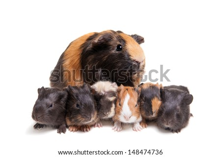 Mother Guinea Pig and her six babies against white background - stock photo