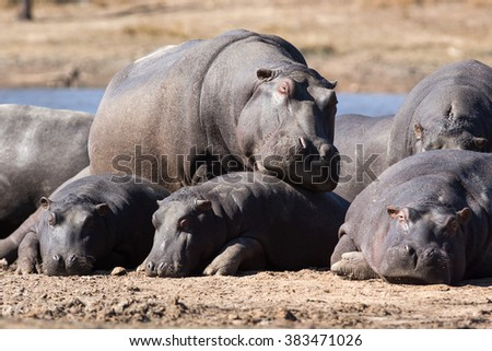 Mother hippo touching her babies on the warm sand next to river - stock photo