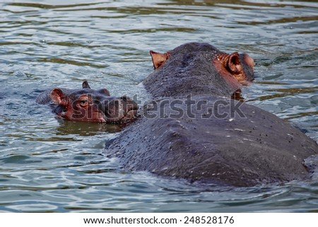 Mother Hippo with baby resting in the lake. Spring. Queen Elizabeth National Park. Uganda. Africa.  - stock photo