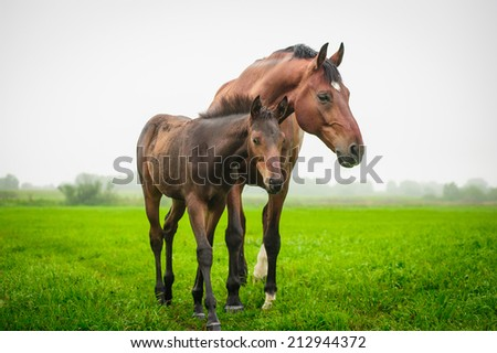 Mother horse and foal grazing in a meadow in the mist - stock photo