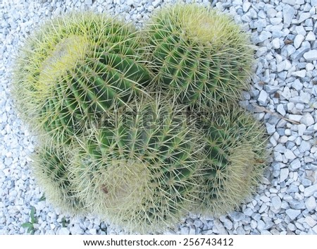 Mother in laws cushion or Golden ball barrel cactus (echinocavtus grusonii) on Fuerteventura one of the Canarian islands in the Atlantic Ocean belonging to spain - stock photo